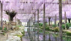 春夏期间限定的绝景:紫藤花梦幻倒影