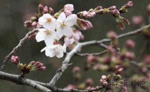 详讯:东京都心樱花开放 比常年早5天
