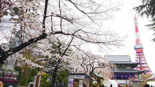 東京タワーとのコントラストが面白い、櫻満開の芝 増上寺