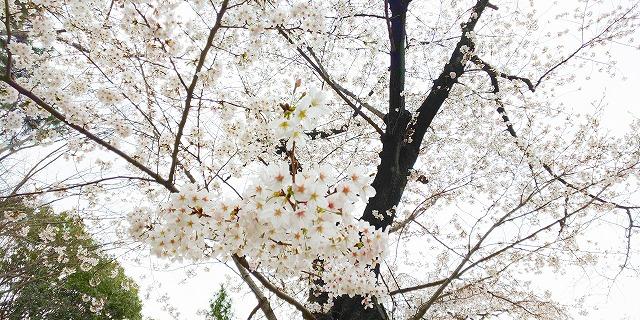 寒空でも映える芝・増上寺の満開櫻(東京都港区)【連載:アキラの着目】