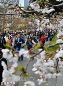 """在日本皇居大道观赏""""平成最后""""的樱花"""