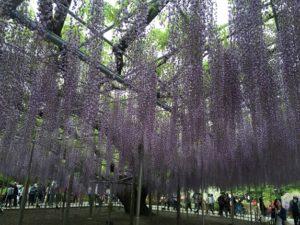 日本鲜鲜鲜(105)足利紫藤瀑布成为黄金周焦点