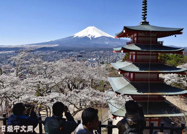 富士山前樱花艳