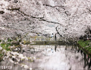 去青森弘前公园赏樱吧!
