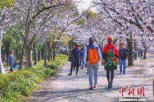 黑龙江清明假日旅游市场日本赏樱线路火热