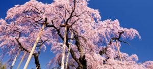 东京赏樱把握最后机会东北4月中下旬北海道5月初