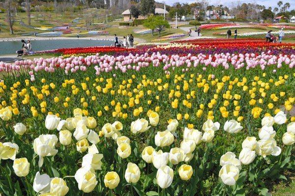 日本兵库县明石海峡公园郁金香迎来最佳观赏期