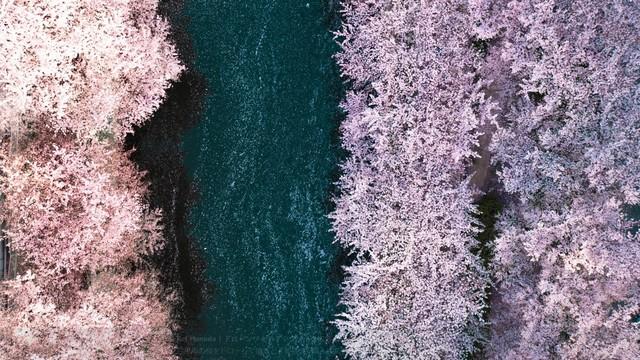绝美!目黑川飞鸟视角赏樱粉红浅紫超缤纷~