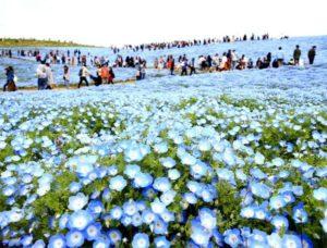 日本茨城450万株喜林草开花 蓝色花海美如绝景