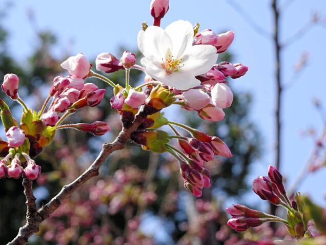 北海道樱花季到来 松前町樱花最先开放