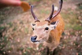 奈良17岁雌鹿死亡 胃中发现3公斤异物疑似塑料袋