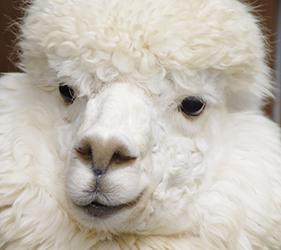 羊驼出没注意──八幡平花园