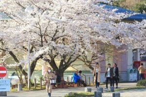 2000棵樱花!「粉红花海」狂炸佐渡真野公园入夜还有夜樱可以看