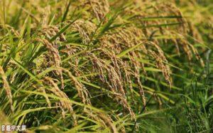 日本将协助非洲种大米 计划使产量翻番