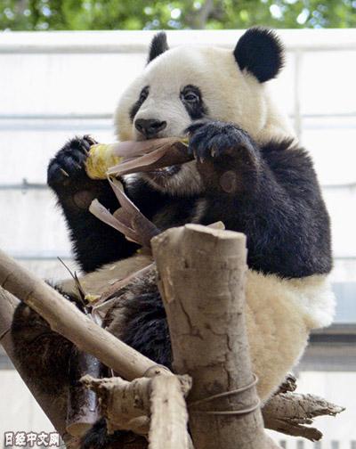 """熊猫宝宝""""香香""""要断奶了"""