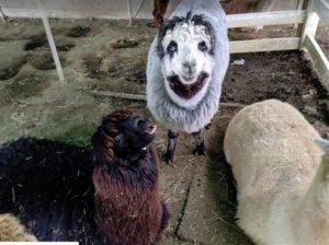 牧场随手拍羊惊见超诡异小丑脸!他看照片差点被吓晕