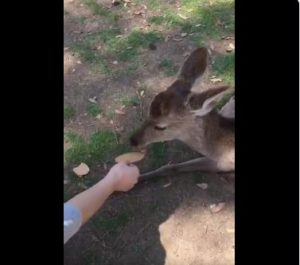观光客太多!奈良小鹿完全无视仙贝网友:它们早就饱了啦