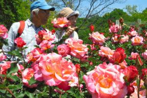 广岛市植物园850种玫瑰花竞相绽放 即将进入最佳观赏季