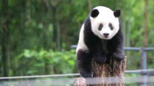 """上野动物园为熊猫香香庆生 推出""""闻熊猫粪便""""特别活动"""