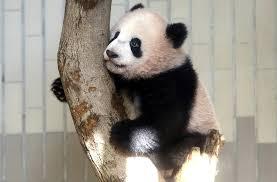 """外交部:希望大熊猫能更好地发挥中日友好""""使者""""的作用"""