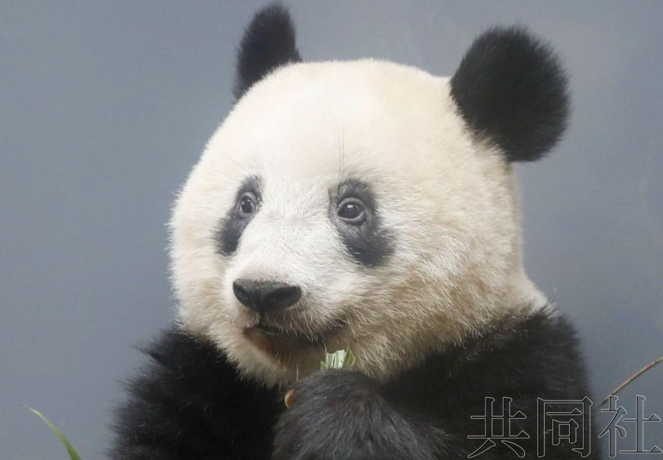 详讯:日中政府拟就熊猫繁育合作签署备忘录