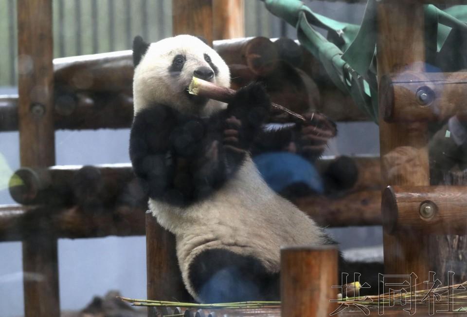 """上野动物园公开视频 纪念大熊猫""""香香""""2岁生日"""