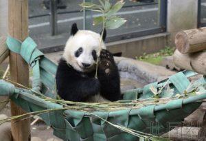 """话题:上野动物园大熊猫""""香香""""将满两岁"""