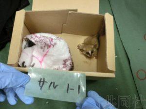 日本警方公开走私未遂案疑似新种的猴子照片