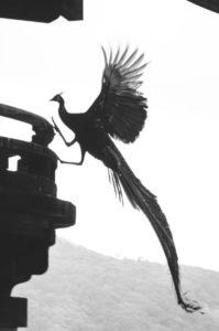 拍到神兽「凤凰」!拖着长尾羽展翅飞翔罕见照片掀网狂热