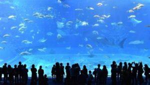 公牛幼鲨现踪日本冲绳河川专家吁保育