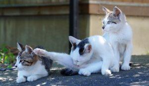 猫星人的天堂,滋贺县冲岛!