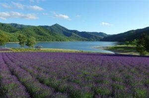 北海道紫色花卉盛宴太梦幻富良野五大人气薰衣草花田在这