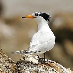 日本赏鸟团追寻神话之鸟造访马祖赏鸥