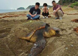 和歌山县确认到红海龟登岸产卵 希望今年大批到来