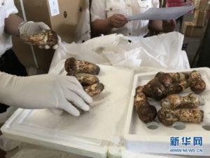 昆明海关助力云南今年首批松茸销往日本