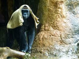 一下雨就头顶麻袋 日本动物园大猩猩避雨行为引关注