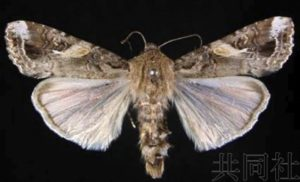 鹿儿岛南九州市首次发现害虫草地贪夜蛾