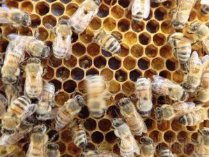 """日本农研机构开发出蜜蜂""""8字舞""""自动解读技术"""