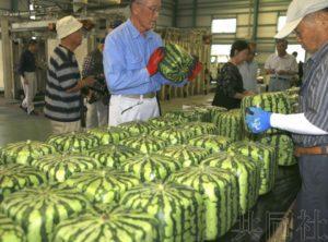 香川县特产方形西瓜开始出货