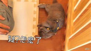 兔子会「装死」?网红想出门遛兔子兔子却昏倒!