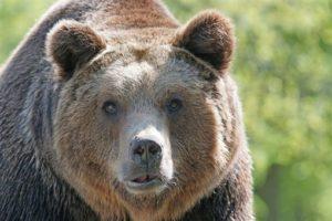 有熊出没!74岁阿公超勇猛「狠咬熊鼻」徒手制服棕熊