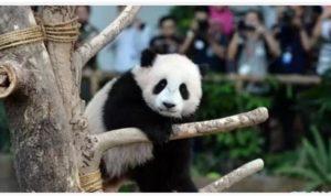 """满1岁啦!旅日熊猫""""彩滨""""迎来周岁纪念活动"""