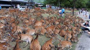 日本奈良公园鹿数量创新高 机构提醒游客正确投食