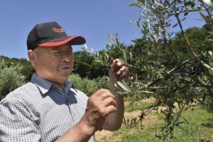 宫城县石卷市种植橄榄欲打造本地品牌