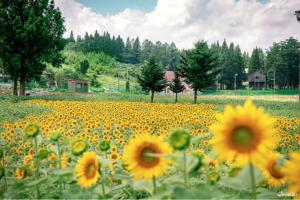 新泻夏末新打卡景点!妙高山向日葵+扫帚草王国