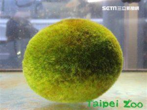 台日友好!台北市立动物园获赠超大型「天然毬藻」