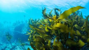 日本研究发现吃海藻可降低心肌梗塞风险