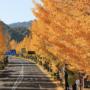 甲州街道いちょう并木