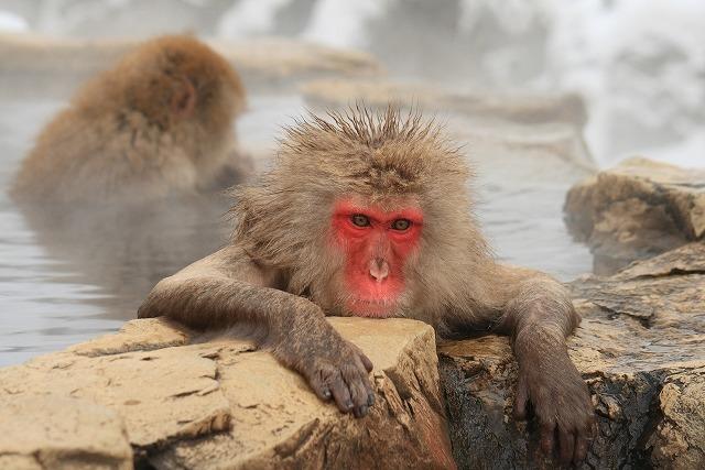 温泉に浸かるニホンザル
