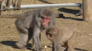 日本动物园风灾受损96只猴子逍遥笼外逾2个月